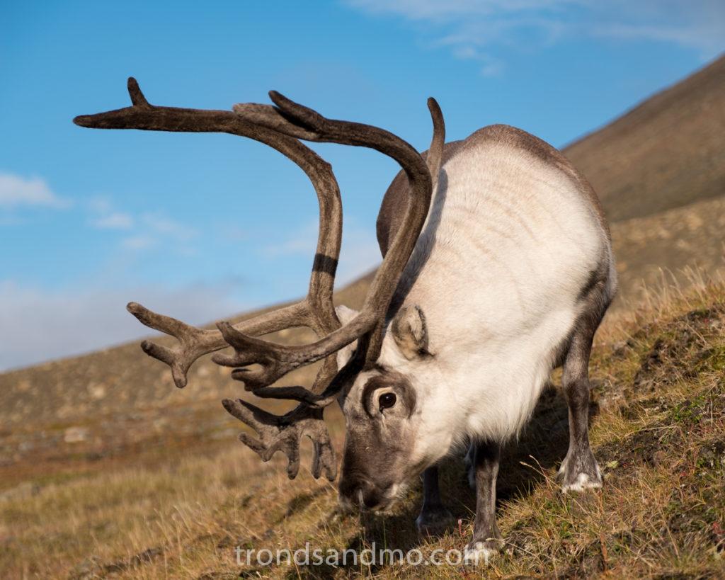 The Svalbard Reindeer