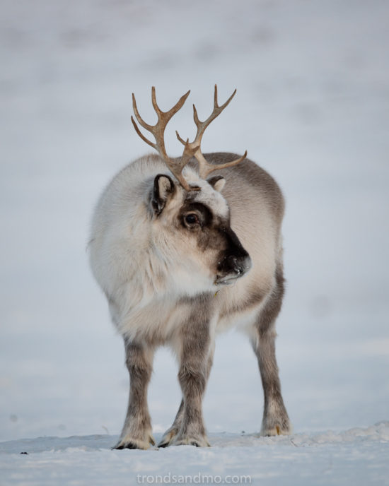 Raindeer portait