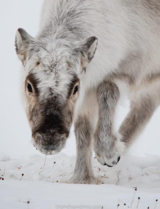 Grazing reindeer