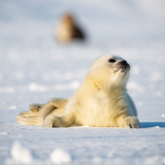 Seal pup IV