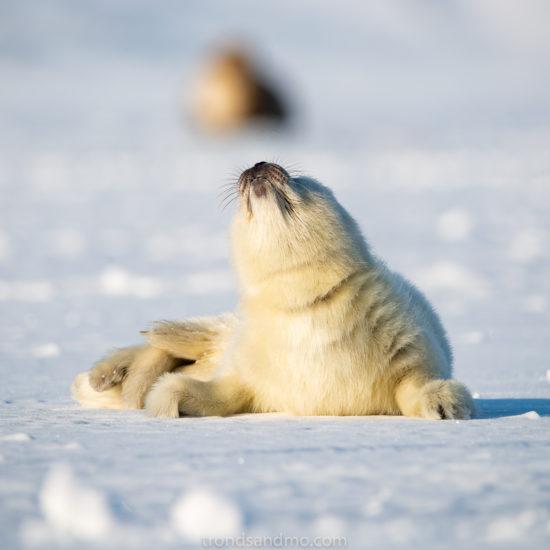 Seal pup III
