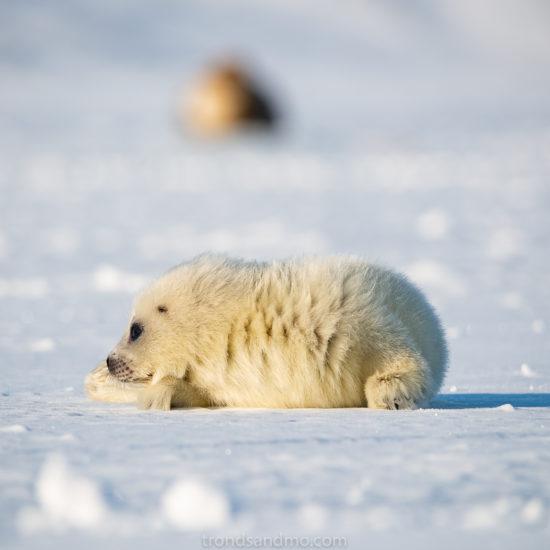 Seal pup II