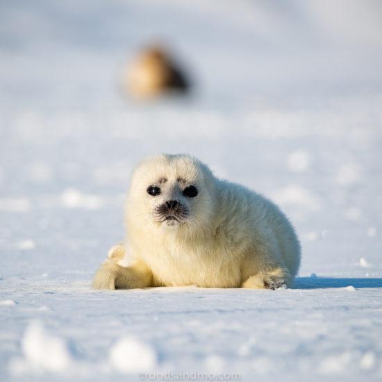 Seal pup I